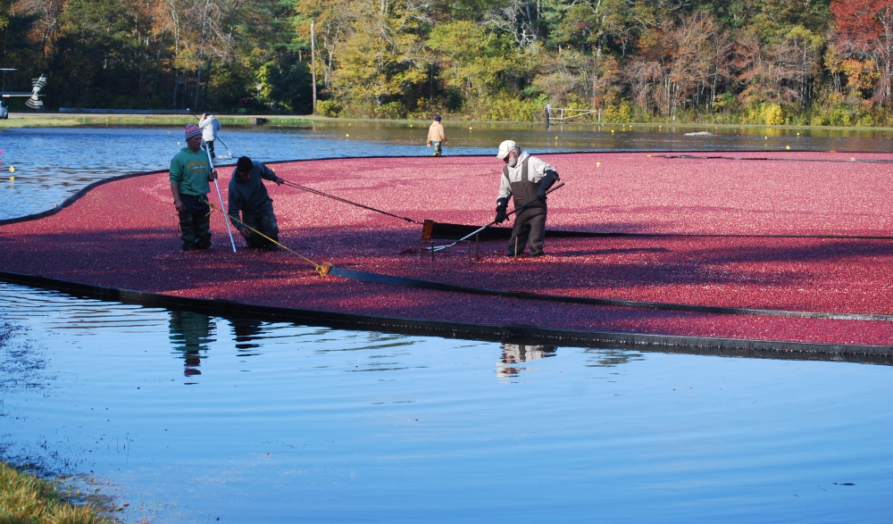 The national cranberry crop is projected to be dow